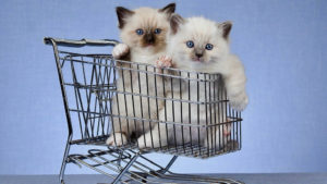 Two Ragdoll Kittens in a cart