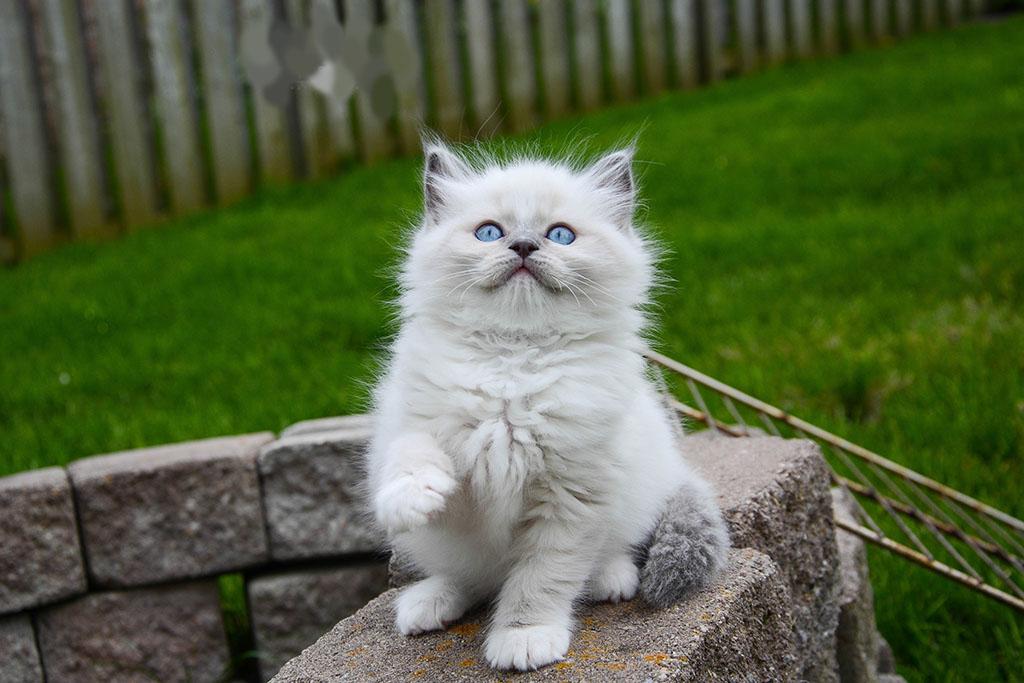 Ragdoll Cat1