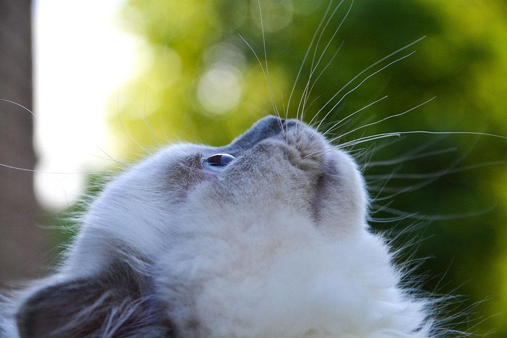 Ragdoll Cat2
