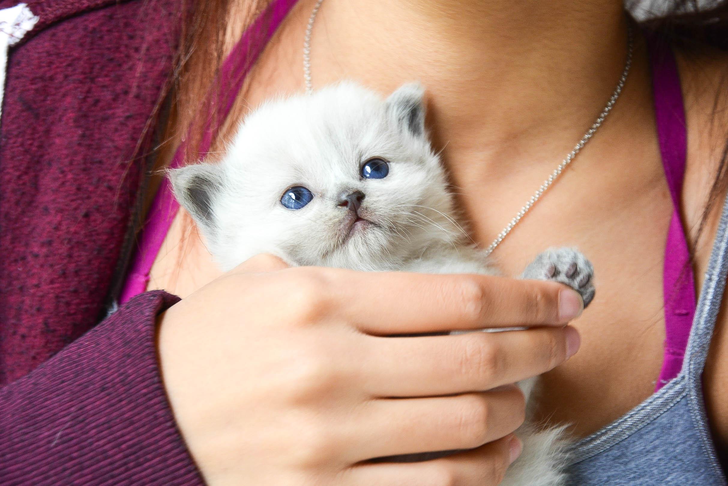 Ragdoll Kitten - about us