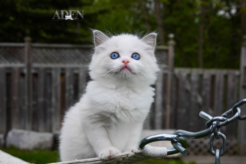 Blue Bi Color Ragdoll Kitten