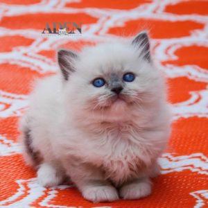 "Blue Mitted Ragdoll Kitten - ""Female"""