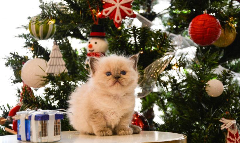 Keeping Ragdoll Kittens off Christmas trees