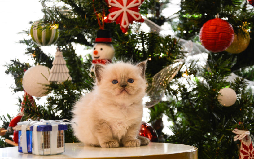 Keeping Ragdoll Kittens off Christmas trees