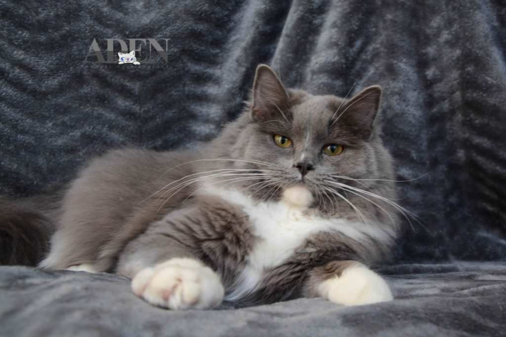 Solid Blue Mitted Ragdoll