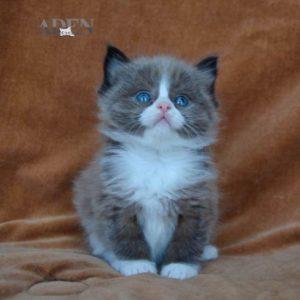 "Rare Seal Mink Mitted Ragdoll Kitten - ""Male"""