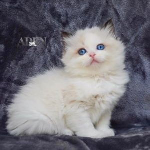 "Seal Bi Color Ragdoll Kitten - ""Female"""