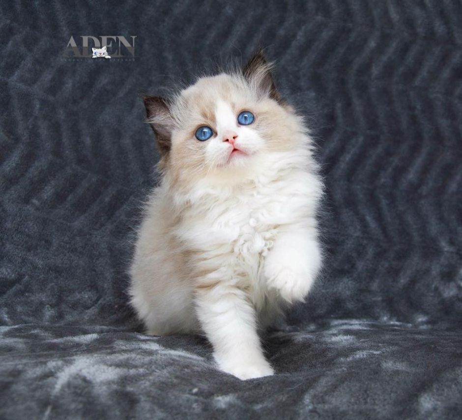Seal Bi Color Ragdoll Kitten