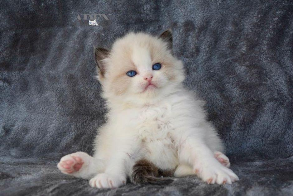 Seal Bi Color Ragdoll Kitten