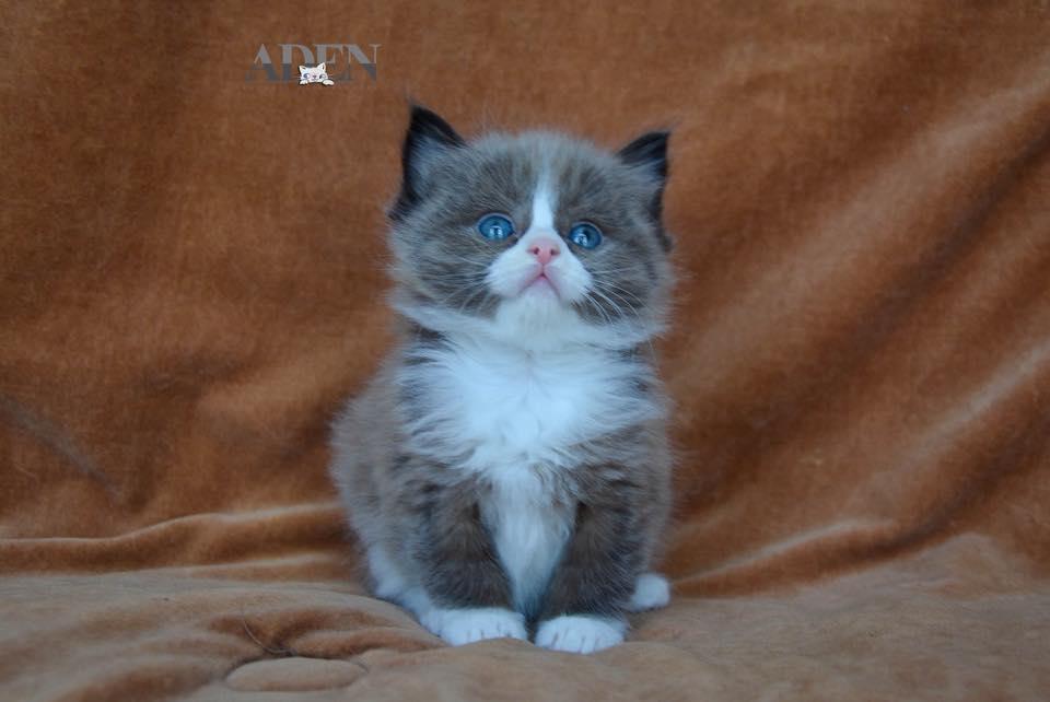 Seal Mitted Mink Ragdoll Kitten