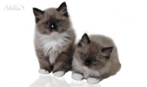 Seal Mitted Mink Ragdoll Kitten