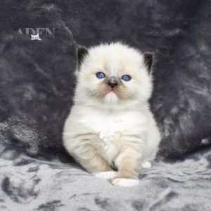 "Seal Mitted Ragdoll Kitten - ""Female"""