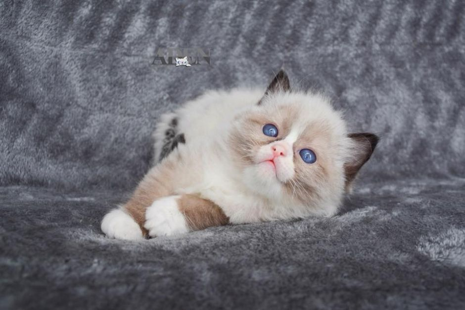 Ragdoll kittens for sale in Ontario