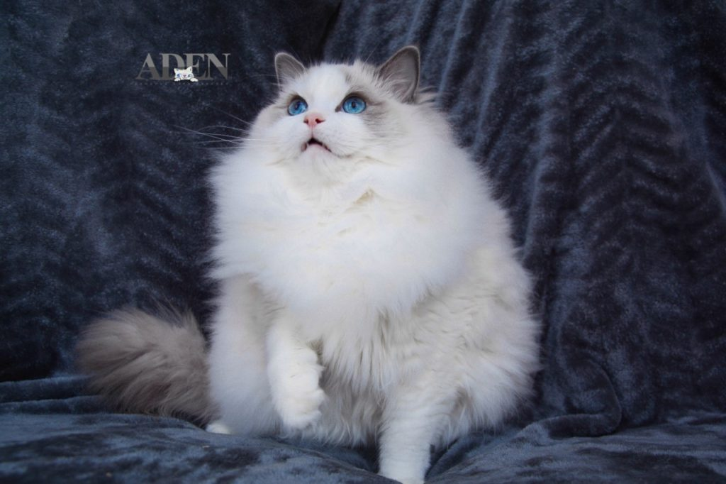 Blue Bi Color Ragdoll