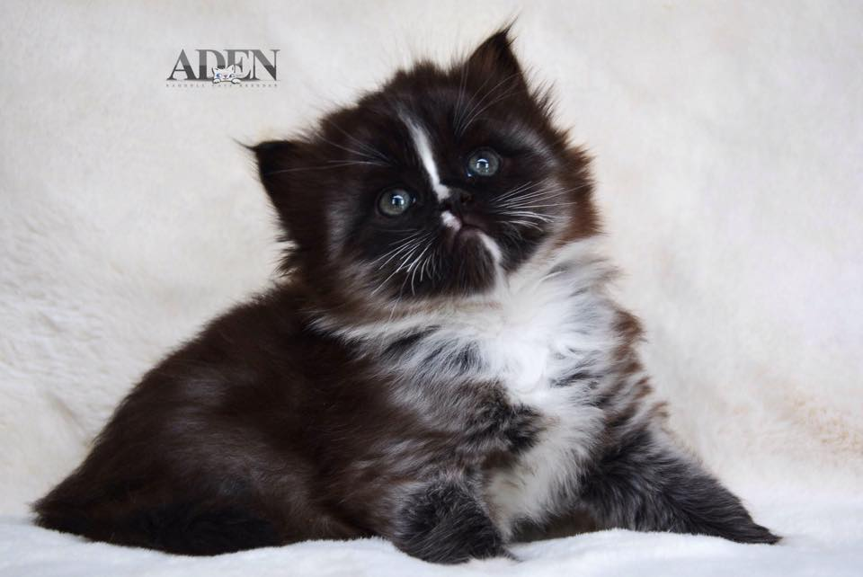 Solid Black Mitted Ragdoll Kitten