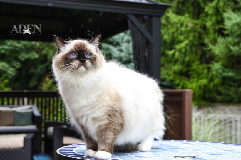 Travelling with your Ragdoll Cat by airplane