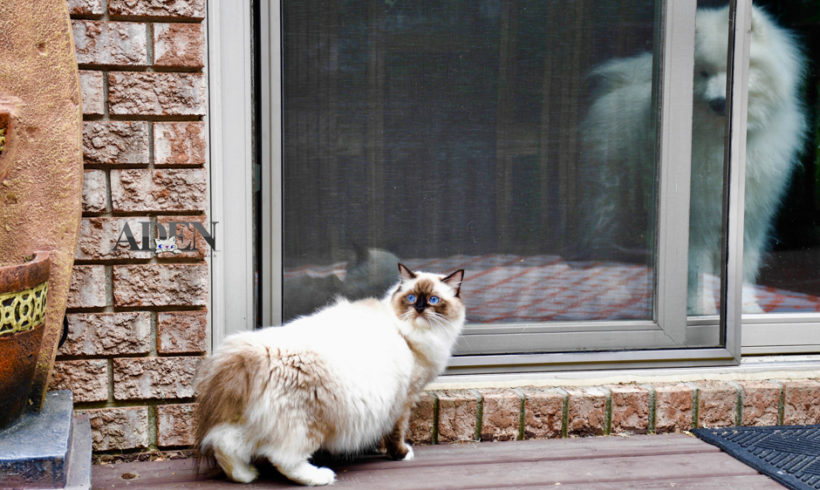 How To Get A Ragdoll Kitten To Be Our Dog's Best Friend
