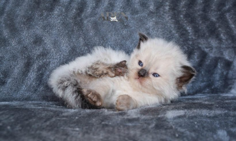 House Plants That Are Poisonous To Ragdoll Kittens