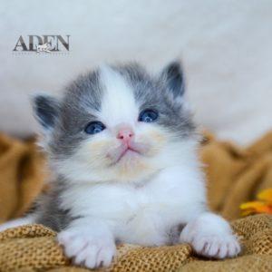 Solid Blue Bi Color Ragdoll Kitten