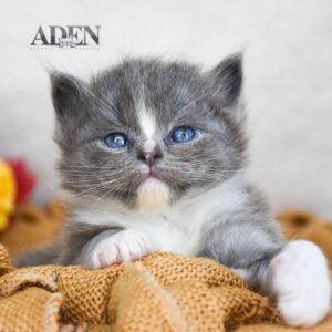 Solid Blue Mitted Ragdoll Kitten