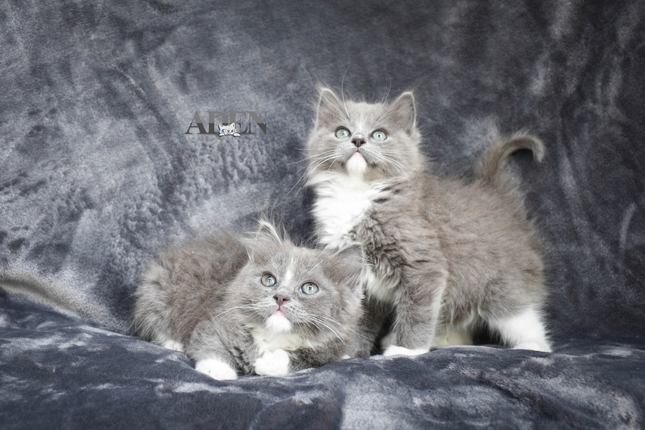 Solid Blue Mitted Ragdoll Kittens