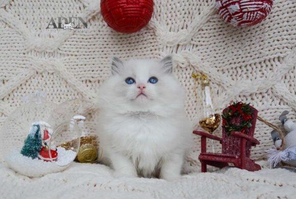 Blue Bi Color Ragdoll kitten